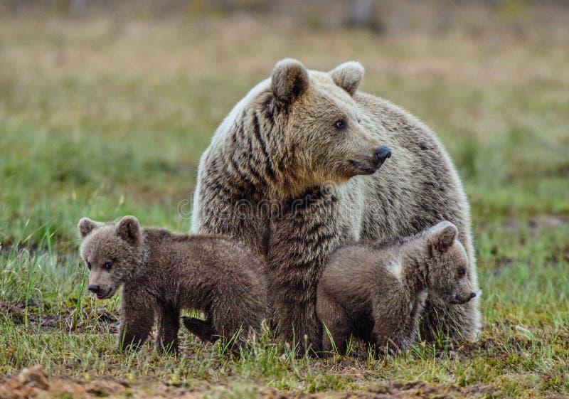 Ella-oso y Cubs fotografía de archivo