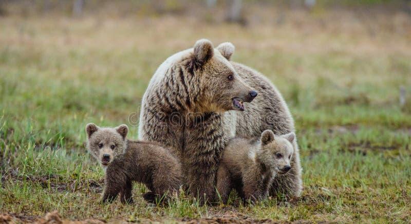 Ella-oso y Cubs imagen de archivo