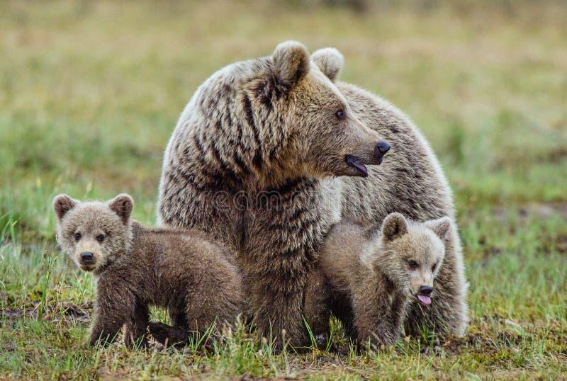 Ella-oso y Cubs imagen de archivo libre de regalías