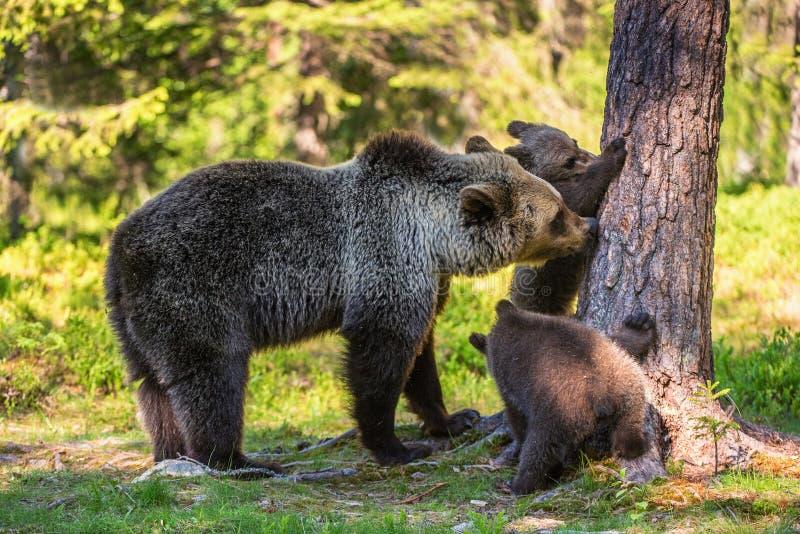 Ella-oso y Cubs Oso de Brown foto de archivo