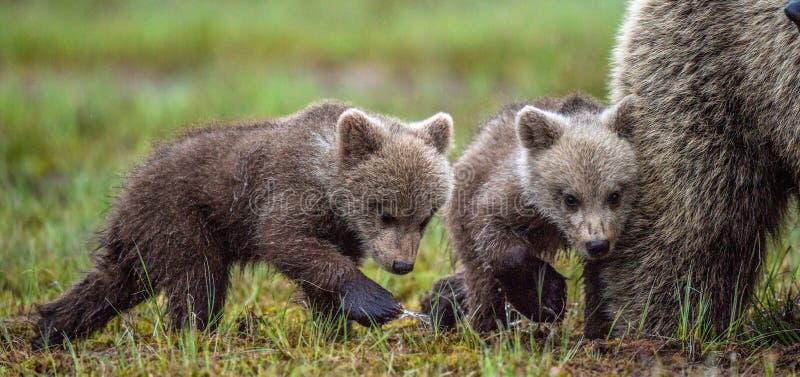 Ella-oso y Cubs Oso de Brown imagen de archivo libre de regalías