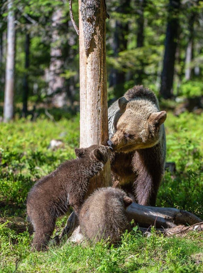 Ella-oso y Cubs Oso de Brown foto de archivo libre de regalías