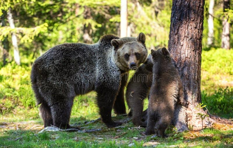 Ella-oso y Cubs Oso de Brown imagenes de archivo