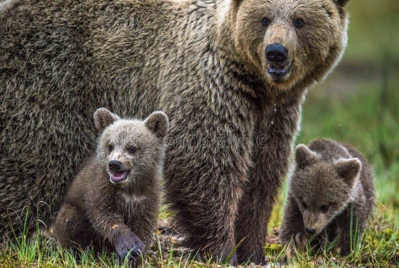 Ella-oso y Cubs Oso de Brown fotografía de archivo