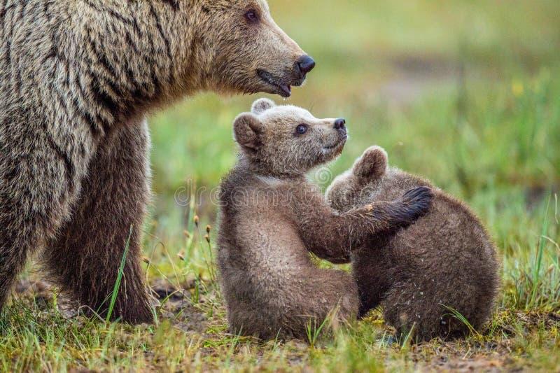 Ella-oso y Cubs del oso de Brown fotos de archivo