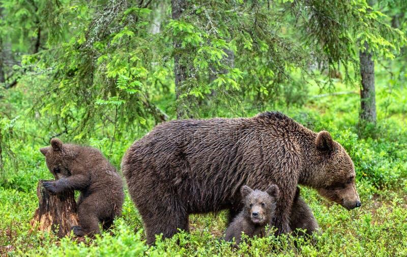Ella-oso y Cubs del oso de Brown en el hábitat natural del bosque del verano Nombre cient?fico: Ursus Arctos Arctos fotografía de archivo libre de regalías