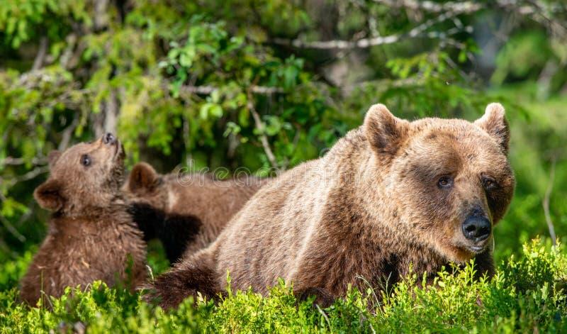 Ella-oso y Cubs del oso de Brown en el h?bitat natural del bosque del verano Nombre cient?fico: Ursus Arctos Arctos fotos de archivo