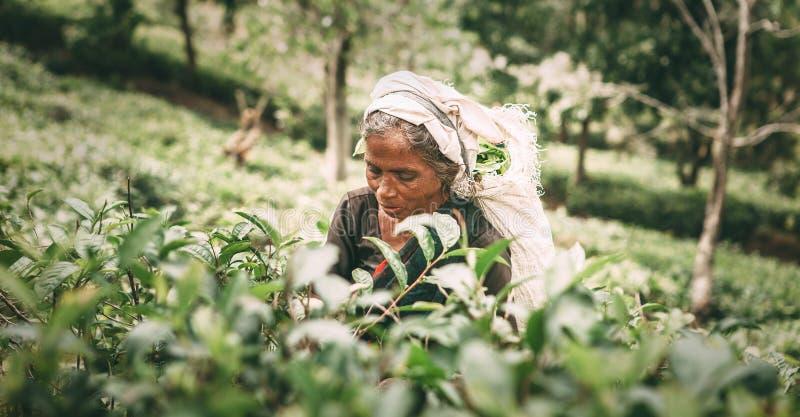 Ella, Sri Lanka - December 30, 2017: Oude dag vrouwelijke thee-plukker p stock afbeeldingen