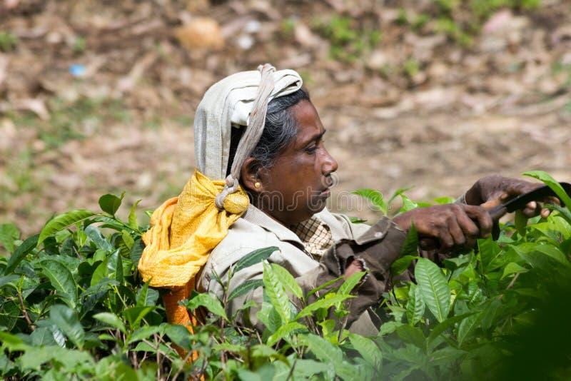 Woman picking tea in plantation. royalty free stock image