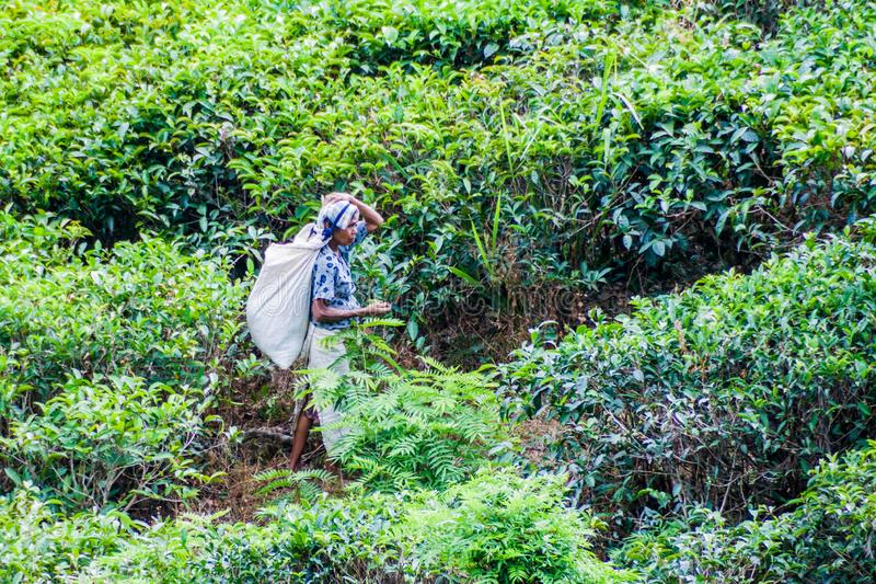 ELLA, SRI LANKA - JULY 14, 2016: Tea picker at a plantation near Ella, Sri Lan royalty free stock photography