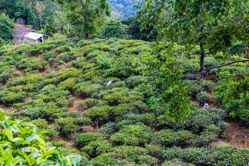 ELLA, SRI LANKA - 14 LUGLIO 2016: Raccoglitrici del tè alle piantagioni vicino a Ella, lan di Sri fotografia stock libera da diritti