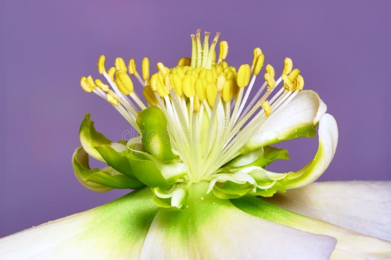 Elleboro del fiore fotografia stock immagine di petalo for Elleboro bianco