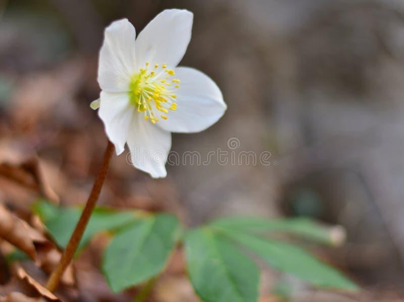 Elleboro, presagio della molla, natura fotografia stock