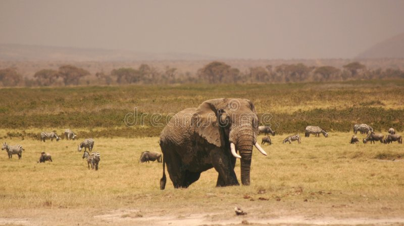 Elli För Amboseli 3 04 Royaltyfria Bilder