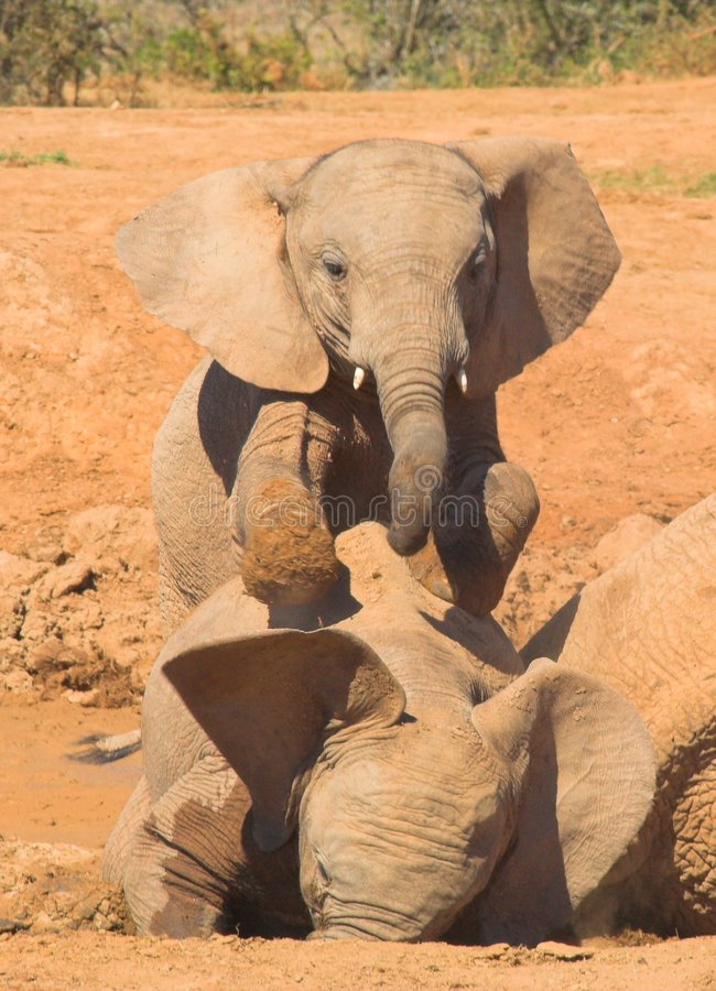 Ellie Dominance. Two baby Elephants play a game of dominance stock photography