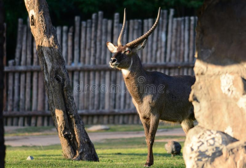 Ellipsiprymnus masculin de Kobus de waterbuck photographie stock libre de droits
