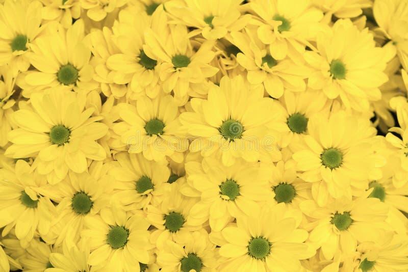 ellow цветет предпосылка Желтое цветене картины предпосылки цветка маргаритки хризантем стоковые изображения rf