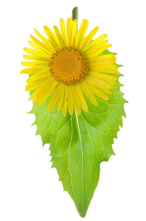 Ellow blomma med det gröna bladet royaltyfri fotografi