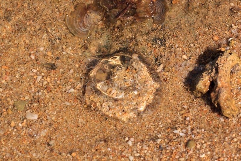 Ellyfish encontró en las playas de Karimunjawa, Java, Indonesia foto de archivo