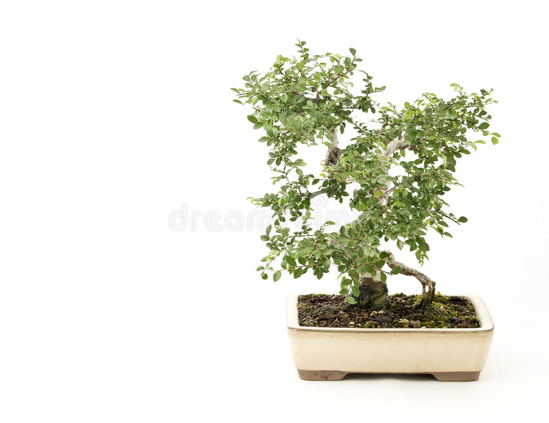 Elm stock images