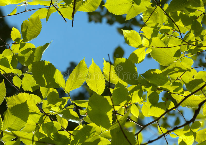 Elm foliage and blue sky royalty free stock images