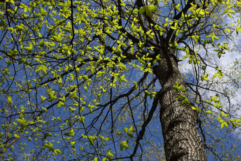 Elm Tree stock photos