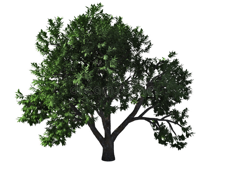 Elm tree royalty free illustration