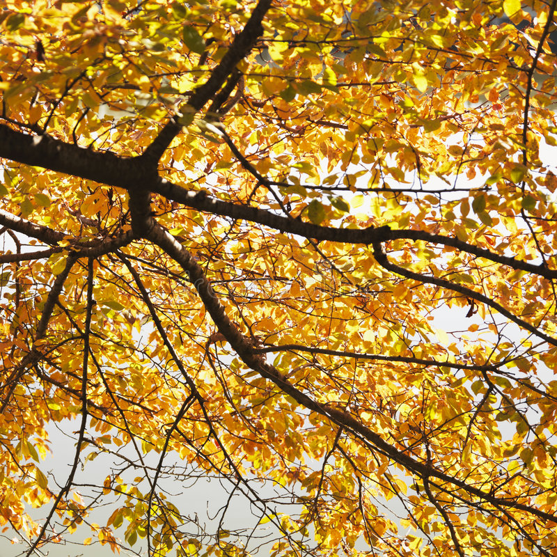 Elm tree in Fall color royalty free stock photography