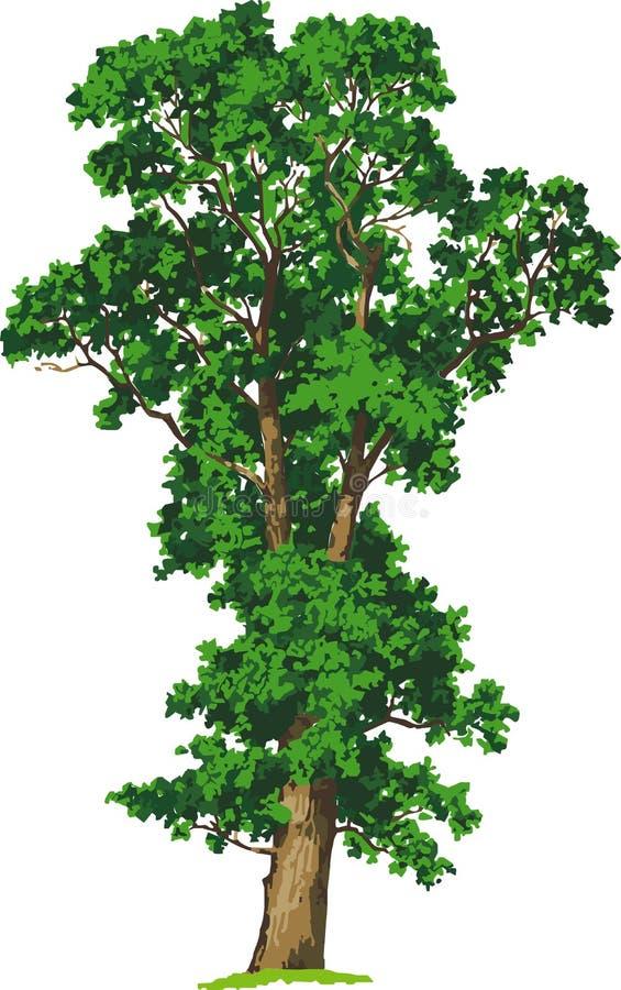 Elm tree. Vector. Elm tree in summer. illustration