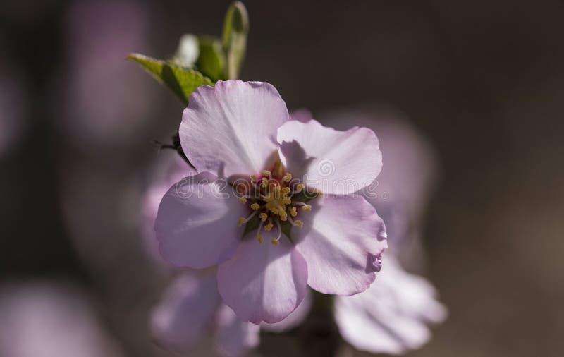 Elmond blomma royaltyfria bilder