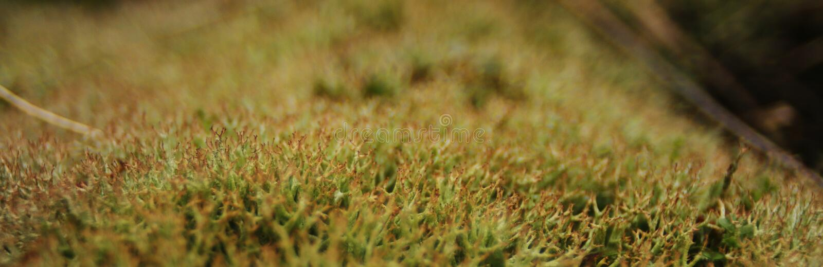 Elongated macro photo of green moss, clearly showing the branched structure. A good header for a webste stock photo