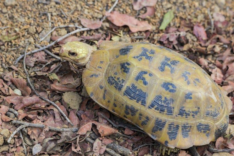 Elongated tortoise Indotestudo elongata or yellow tortoise, a rare endangered species found wild at Jim Corbett national park. Elongated tortoise Indotestudo stock photos