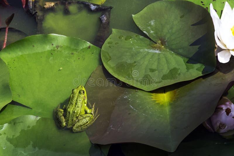 Elophylax conocido como la charca verdadera, verde, de agua o rana de la piscina foto de archivo libre de regalías