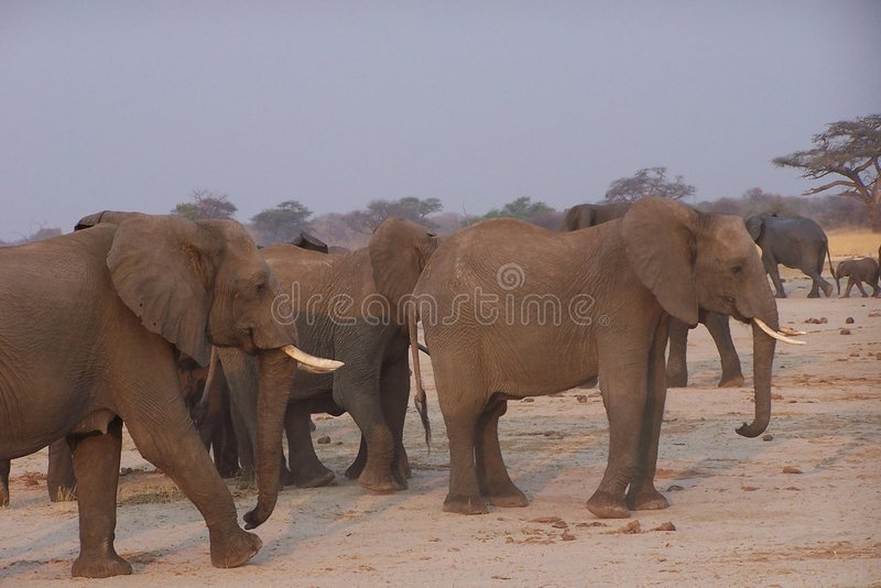Elphants Royalty Free Stock Photo