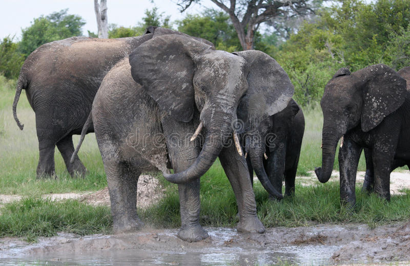 Elphants, das im Schlamm spielt lizenzfreie stockbilder