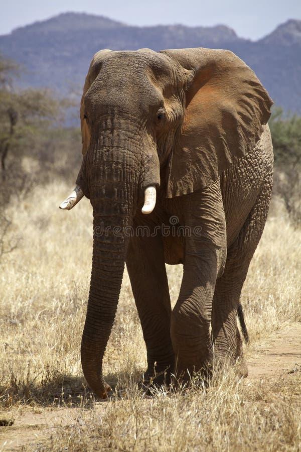 Elrphant africano imagens de stock royalty free