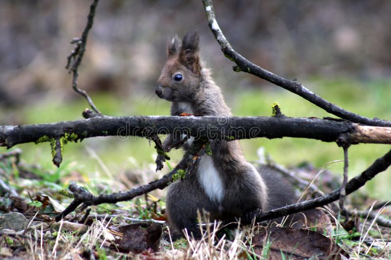 Elsa, the cute squirrel is busy. A cute happy squirrel is working in my garden in a spring morning stock photos