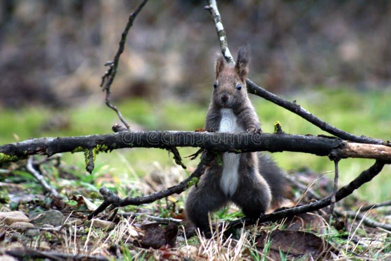 Elsa, o esquilo bonito está olhando-o fotos de stock royalty free