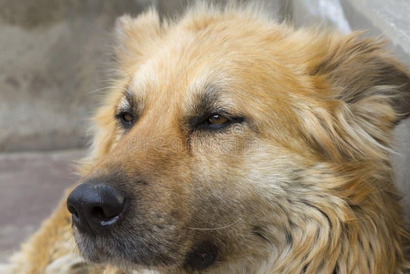 elsassisk hund royaltyfria bilder