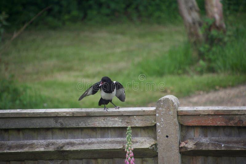 Elster, die auf einem Zaun kreischt stockfotografie