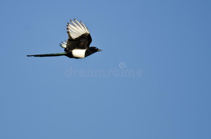 Elster-Fliegen in einem blauen Himmel lizenzfreies stockfoto