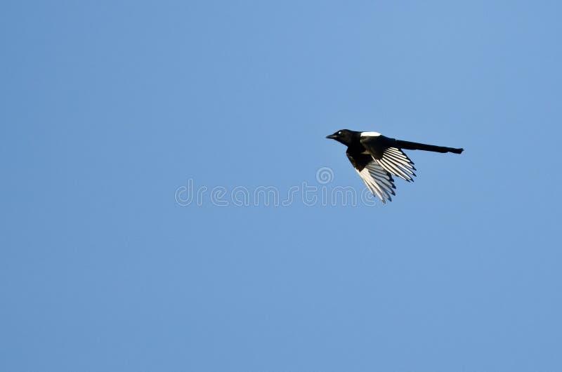 Elster-Fliegen in einem blauen Himmel lizenzfreie stockfotos