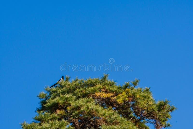 Elster hockte auf Spitzenniederlassungen des hohen immergrünen Baums lizenzfreie stockbilder