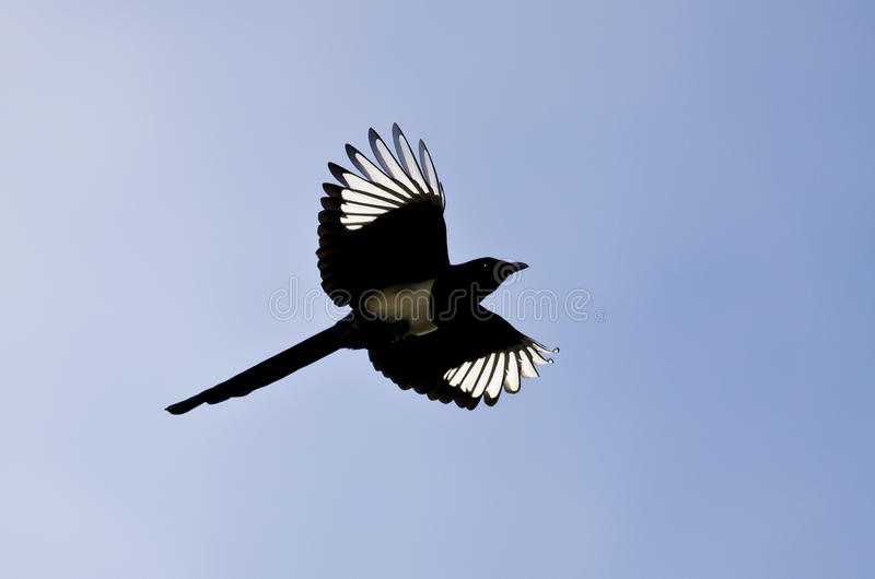 Elster mit seinem Flügel-Lit oben im hellen Sonnenlicht lizenzfreies stockfoto