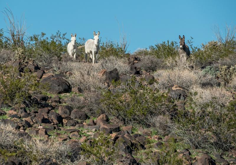 Elusive white wild Burros in the Black Mountains stock image