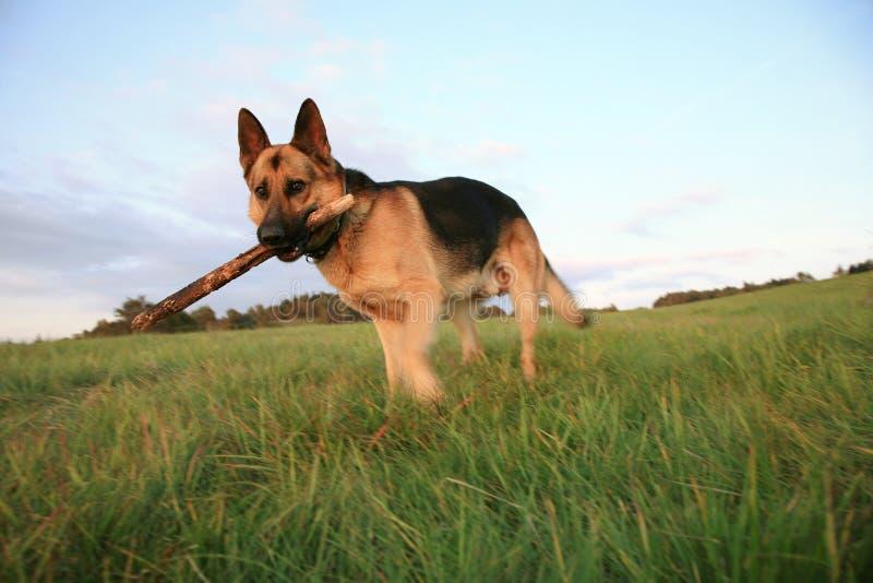 Elzassisch (de Hond van de Duitse herder) is halend royalty-vrije stock afbeelding