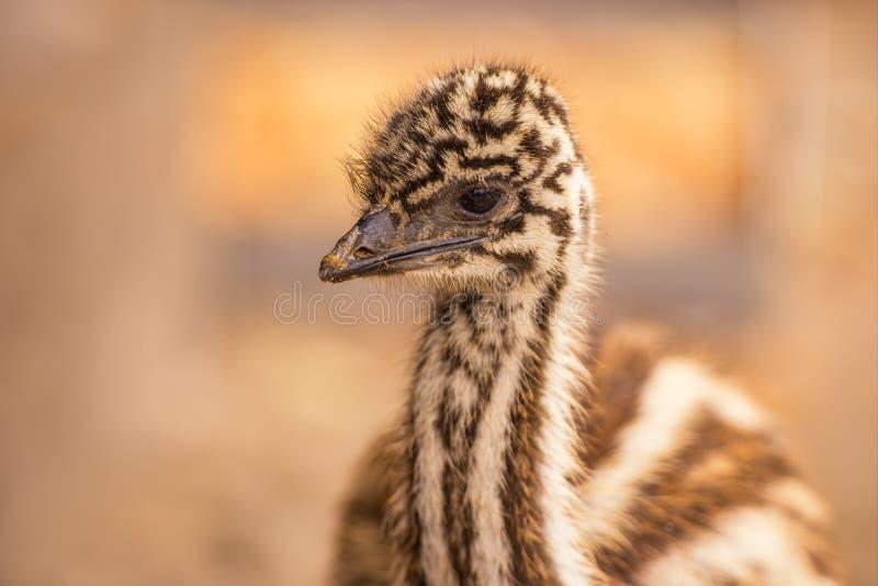Emù dell'australiano del bambino fotografie stock libere da diritti