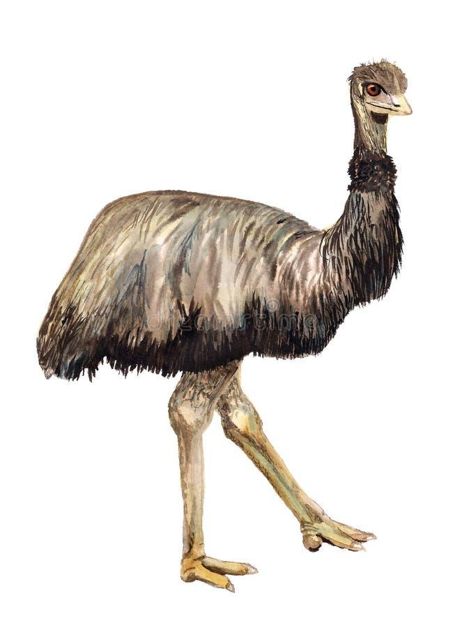 Emù dello struzzo dell'acquerello illustrazione di stock