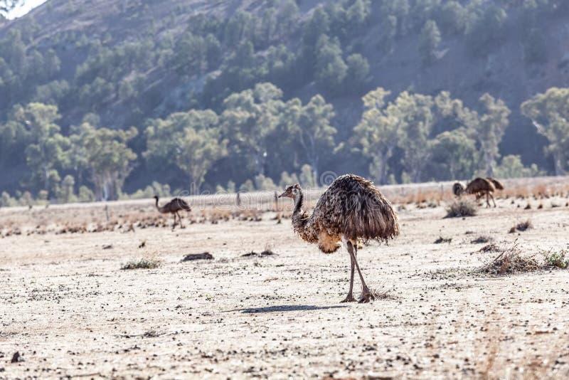 Emù nelle gamme di Flinder fotografia stock