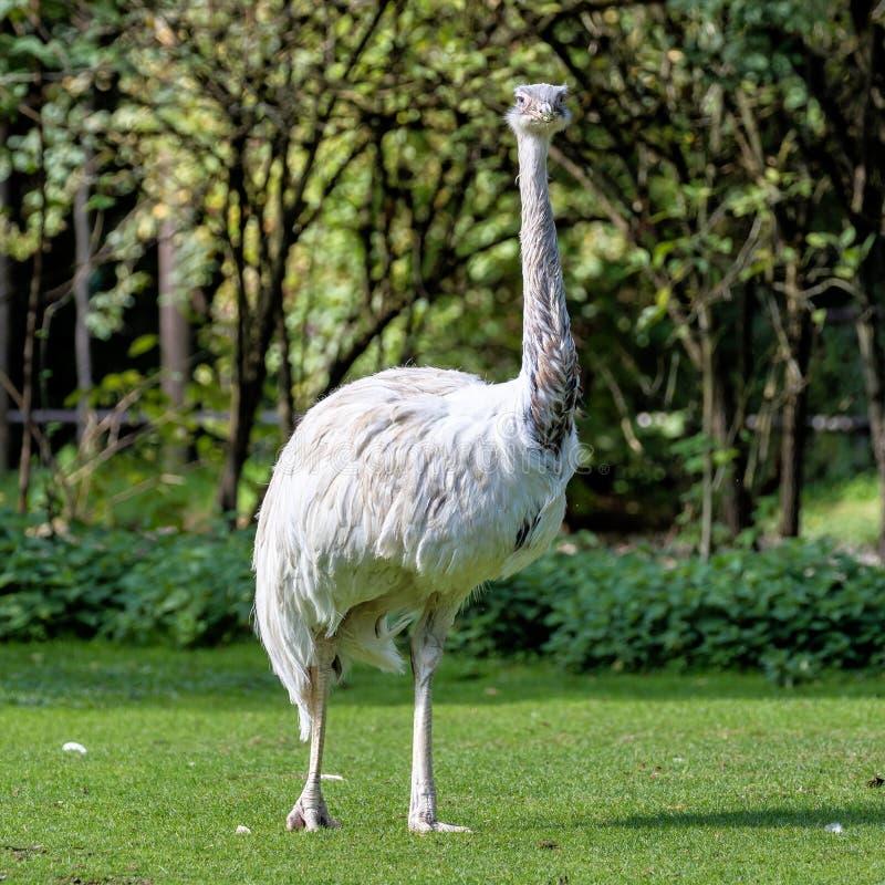 Emú, novaehollandiae del Dromaius que se colocan en hierba en su hábitat foto de archivo libre de regalías